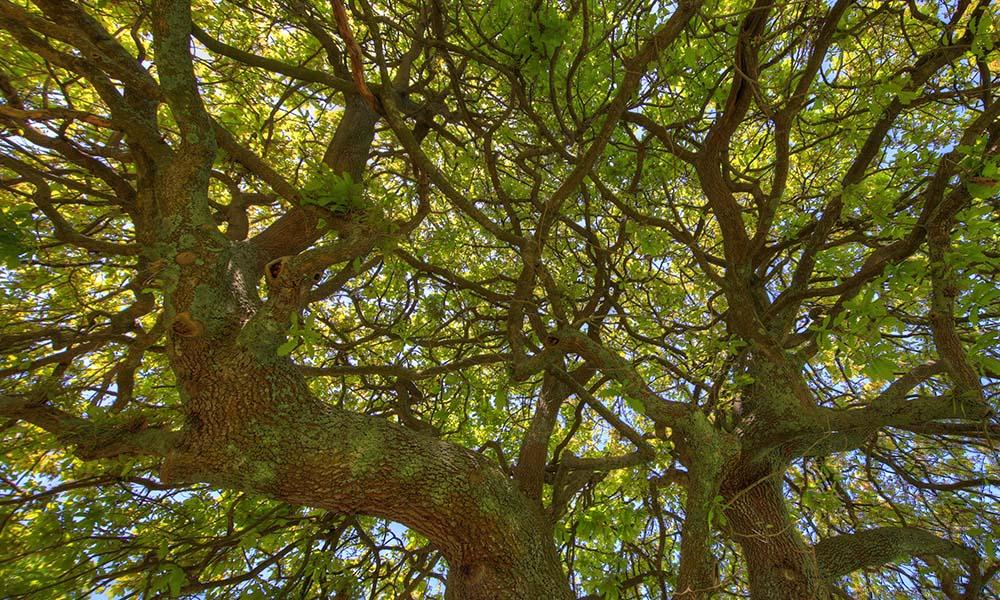 Backyard_Oak_Tree